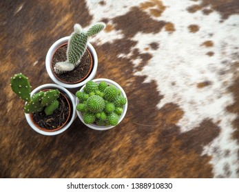 Variety of three small cactus plants of which two opuntia's, also known as prickly pear cactus,  and one echinopsis  in white pots on a cowhide rug
