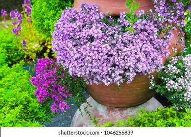 Variety of thyme flowers blooming in the garden flowerpot