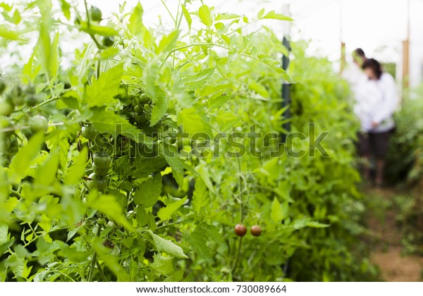 A variety of tomato plants growing at an urban farm
