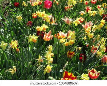 Variety of tulips blooming in the sun