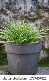 Varigated ribbon grass (varigated mondo grass) plants in small pots