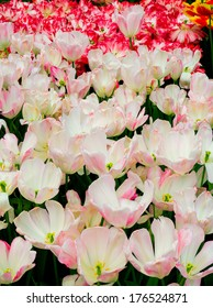 Varigated white with pink accents called Graceland