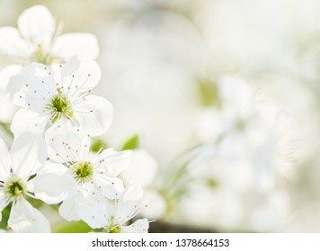various blossoming trees: sacura (japanese cherry, apple tree, cherry)