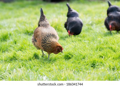 Various Breeds of Free Range Chickens Graze on Young Spring Grass in Backyard