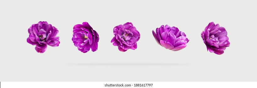 Various buds and petals of purple tulip on light gray background. Creative floral composition with tulips. Spring blossom concept, nature layout, greeting card for 8 March mothers Day Valentine's day