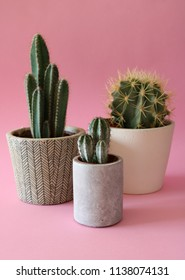 Various Cactus plants in cement and white planters, isolated on colorful, pink pastel background.