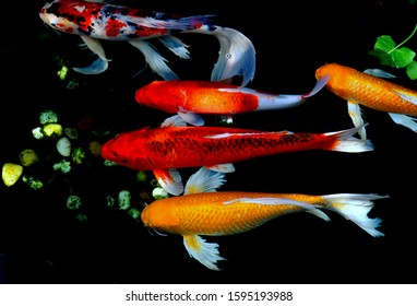 various color of carp fish swimming in the pool