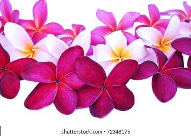 various color of frangipani flower