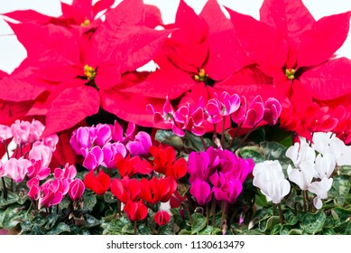 Various colors cyclamen flowers in front of poinsettia plants