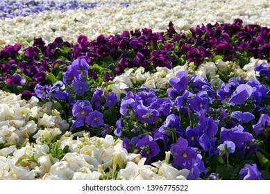 Various colors of viola flowers.Viola is a genus of flowering plants in the violet family Violaceae.It is the largest genus in the family, containing 525-600 species.White,magenta,blue flowers