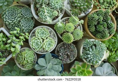 Various of Echeveria ,Sedum Houseplant Flowering Succulent plant pots garden background top view
