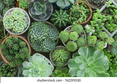 Various of Flowering Houseplant Crassula , Echeveria, Sempervivum Succulent plant pots garden background top view