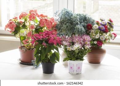 Various flowering houseplants on table.