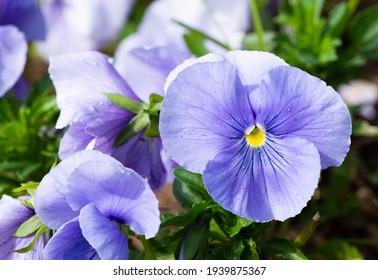 various Garden Flowers, Garden violets.