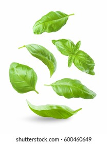 Various green basil leaves isolated on white background
