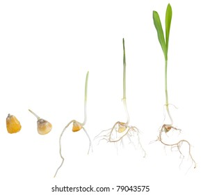 Various growth stages of a corn plant, from seed to seedling, isolated on white