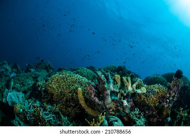 Various hard coral reefs in Gorontalo, Indonesia. Reef fishes are swimming above the coral reefs.