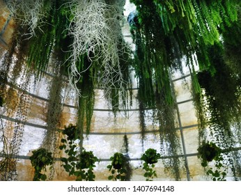 Various Kinds of Climbing Ivy Plants Hanging Inside the Dome with Selective Focus