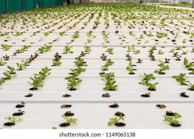 Various kinds of Microgreens and vegetables grown inside a Hydroponics farm