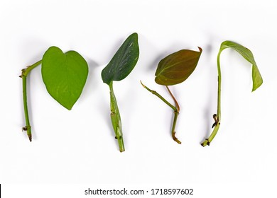 Various leaf and stem cuttings from tropical house plants used for propagation on white background