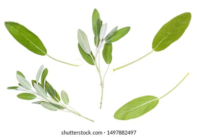 various leaves and twigs of salvia officinalis (sage) plant isolated on white background