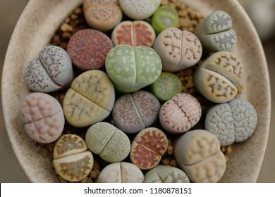 various Lithops or Living rock in ceramic pot