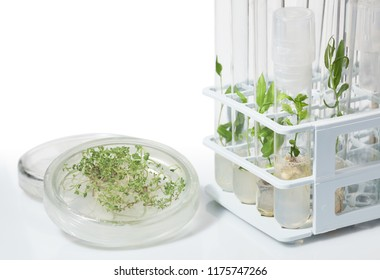 Various plants cultivated in vitro in dishes and tubes in nutrient medium, biotechnology concept