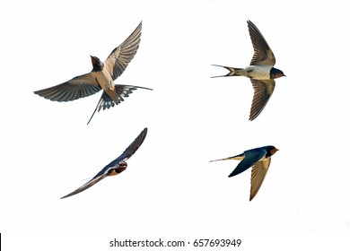 various postures of swallow hirundo rustica on white background