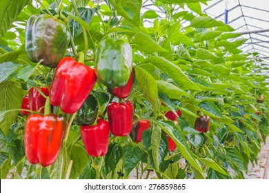Various red bell peppers in a Dutch greenhouse