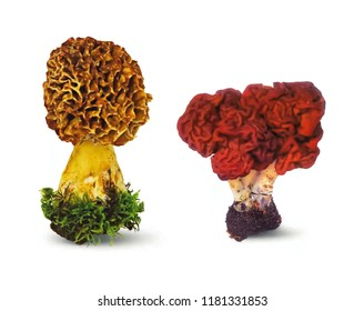 Various Sac fungiand lichens, False morel and morel isolated on white background.
