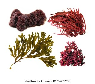 Various seaweeds isolated on white background.