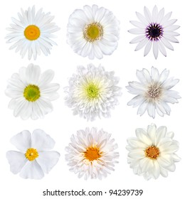 Various Selection of White Flowers Isolated on White Background. Set of Nine Daisy, Gerber, Marigold, Osteospermum, Chrysanthemum, Strawflower, Cornflower, Dahlia Flowers