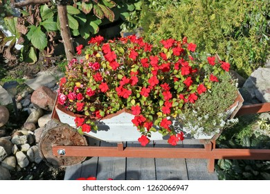 Various summer red  flowers grow on the village  garden bed.