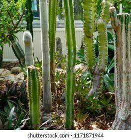 Various Tall Cacti