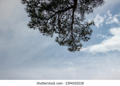 Various texture of green kroner of pines in mountains of the island of Cyprus against the background of storm Xing of the lilac sky at the height of a summer heat.