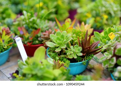 Various type of succulent plants sold at the Alii Kula Lavender Farm on Maui, Hawaii, USA