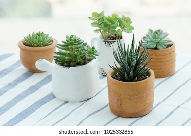 Various types of mini zebra plant ,echeveria succulent house plants clay pots on striped table clothes background