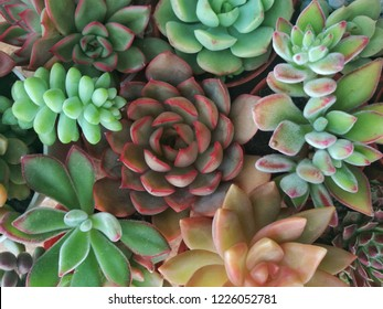 Various types of red green sedum, echeveria succulent flowering houseplants top view background