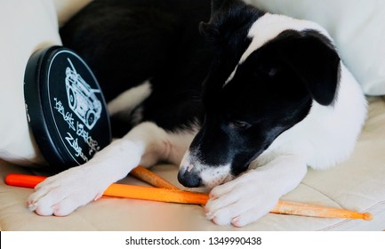 Varna, Bulgaria - March 26 2019: Black and white dog playing with drumsticks. A puppy with Zildjian Travis Barker drum pad and two drum sticks.