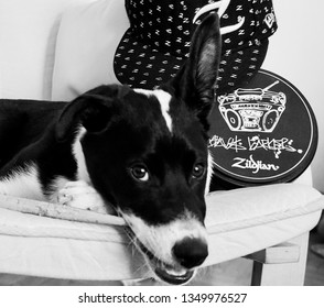 Varna, Bulgaria - March 26th 2019: Black and white dog lying on a chair, playing with  drumsticks. Puppy with drum sticks, Zildjian cap, and Travis Barker Zildjian Pad .