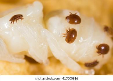 Varroa destructor mite on a honey bee pupa (Apis mellifera)