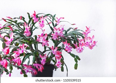 Vase Flower of May known in North America as Christmas cactus - Schlumbergera truncata