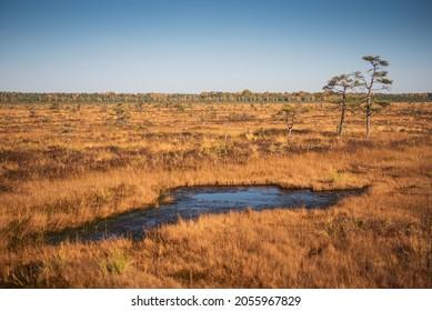 Vasenieki marsh, pond and pines in sunny autumn evening, Latvia.