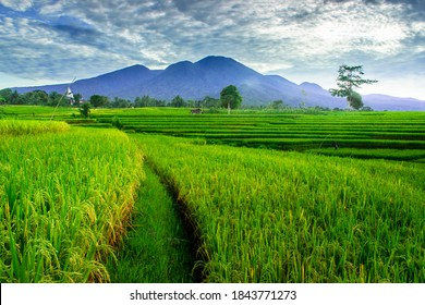 The vast expanse of green rice fields in the morning with beautiful mountains in Indonesia