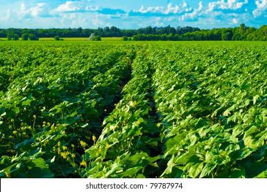 vast field before harvest