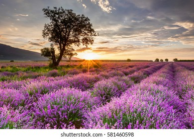 Vast lavender field at sunrise