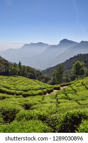 Vast mountains and green tea fields in Munnar, India. Beautiful rolling hills and commercial production of tea and coffee creates this amazing tourist destination in Kerala.