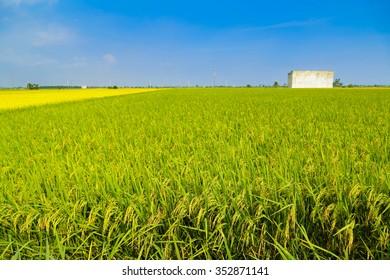 Vast paddy fields ripe for harvest at Sekinchan, Malaysia.