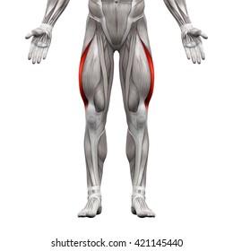 Vastus Lateralis - Anatomy Muscles isolated on white - 3D illustration