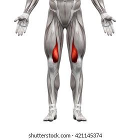 Vastus Medialis - Anatomy Muscles isolated on white - 3D illustration